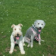 petsitter needed for one and occasionally 2 dogs, a wire haired fox terrier, Daisy, and bedlington terrier, Martha