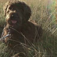 Pet sitter needed for our Labradoodle - two weeks nr. Oxford