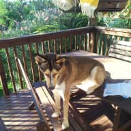 A Lovable Alaskan Husky in a Leafy Sydney NSW Hills District Home