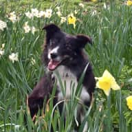 Beautiful young Collie in pretty Bristol House needs sitter Urgently Thurs 9th-Sun12th