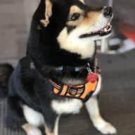 Adorable Shiba Inu in Wynwood