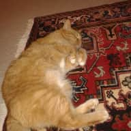 Pet and House Sitter Needed for Very Sociable Cat in Silver Spring