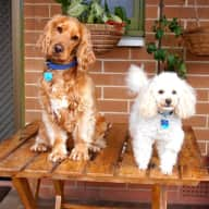 Lively  toy poodle, cocker spaniel and devon rex cat