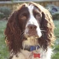 Pet sitter needed for 2 Springer Spaniels Jan 5th - 15th in Ireland