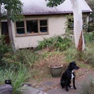 Friendly dog and happy chooks in Ryde on Sydney's lower north shore need minding in early July.