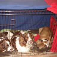 Pet sitter needed for our 4 dogs & 3 chickens in September