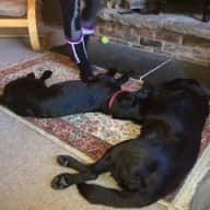 House sitters needed for two friendly black labradors, on the edge of the English Lake District