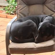 Pet sitter needed for my Dobermans, Bird & Fish tank 2 Weeks March 2017 at Woolmar Qld  4515
