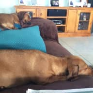Sitters for dachshunds