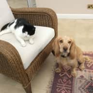 Experienced house  and pet sitter, preferably a couple, required to look after Monty and Widge from 26th June to 11th July 2017.