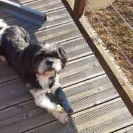 Sitters wanted for our lovely Shih Tzu & beautiful home in the Dordogne near Bergerac