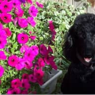 Pet sitter needed for two weeks over Christmas in sunny, warm Phoenix, Arizona. We have a beautiful, small standard poodle.