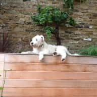 Dog sitter needed for Woody the Wheaten ; 2 weeks in London