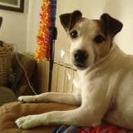 Pet Sitter needed for Jack Russell - Flat near Barcelona 27th December 2018 to 1st January 2019