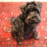 Reliable sitter needed for a friendly schnauzer for 1 week !