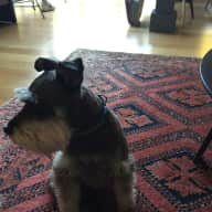 Dog loving sitter required for Teddy our mini Schnauzer