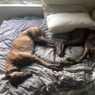 Pet-sitter for 2 rescue Greyhounds and a fluffy Cat