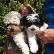 Pet sitter(s) needed for 2 shihtzu X dogs