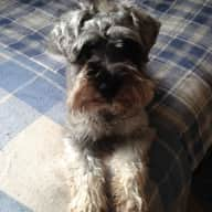 House and Pet sitter needed for my lovely Miniature Schnauzer from end June 2016 and first two weeks July (next year) 2016