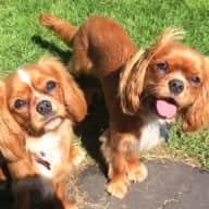 Dog sitting for 2 Cavalier King Charles Spaniels in Paris