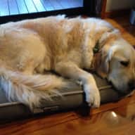 Pet/House sitter required to mind 2 Golden Retrievers for 3 weeks Christmas time.
