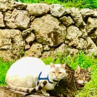 """Female """"Nanny"""" needed for 2 mature bengal kitties. :-) Dates may be a bit flexible for 2.5 wks in June."""