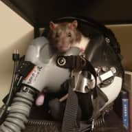 Caring and Trustworthy Small Animal Sitter Needed for Two Pet Ratties