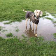House & Dog sitter required for 2 lovely boys (4yr weimaraner  &  8mth hungarian vizla)  - by the beach  in brighton