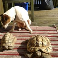Visit Devon (house sitter required for Jack Russell and 2 tortoises)