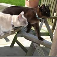 Pet sitter for one Spaniel and two Burmese cats in Devon in February for up to 5 weeks
