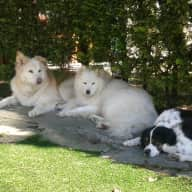 Caring dog sitter for our 3 family dogs