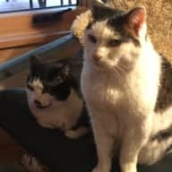 Pet and house sitter needed for our beautiful mountain view home and two cats Lacey and Amelia for two months
