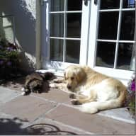 Gentle Golden Retriever and Independent Cat