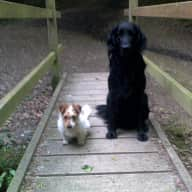 Pet sitter needed for my Flatcoated Retriever and Jack Russel x Terrier for 3 weeks in Heathfield