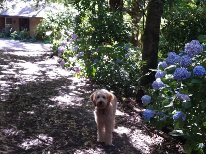 Housesitting assignment in Mount Dandenong, Victoria, Australia