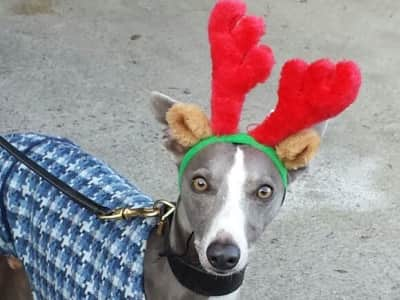 Elegant (if daft) whippet seeks companionship whilst owners abandon him to holiday abroad...