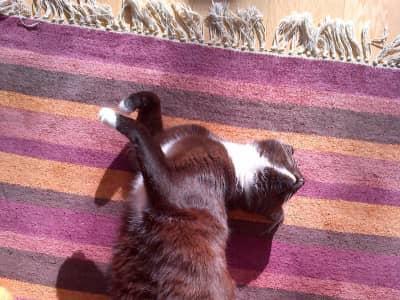 Pet/house sitter needed for one indoor cat in Hampstead Heath