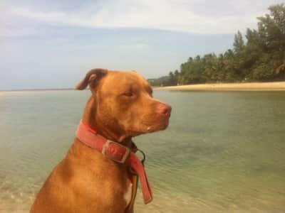 KOH SAMUI URGENT/ SITTING OUR DOGS IN A BEAUTIFUL HOUSE 80 from the beach
