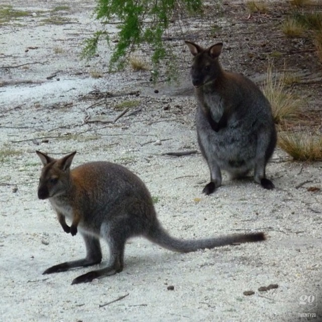 Wallabies At A Nature Reserve On Flinders Island In Tasmania Stock Photo Ig 424400042230193224 3004774