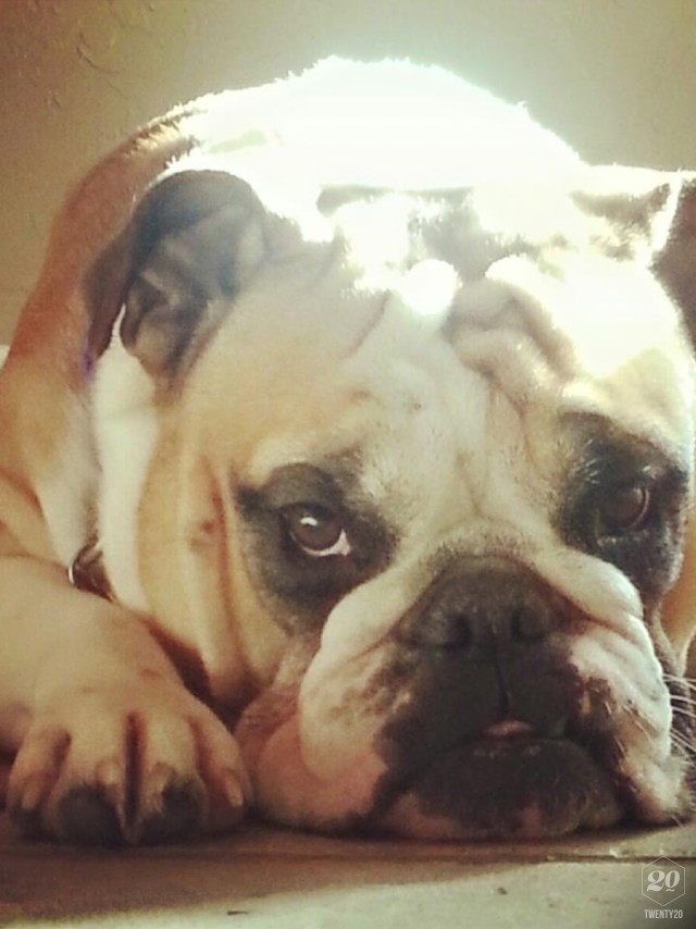 Bulldog Note Cards With Brown Eyes