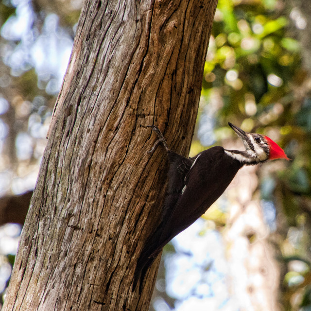 I was walking through a natural reserve when I found this amazing woodpecker! I felt very lucky to take a picture of it.