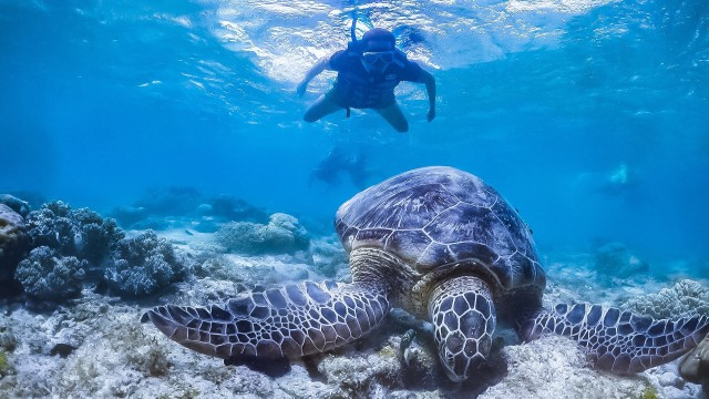 swimming with turtles of Apo island