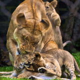 Family gatherings always end up like this. New litter of lion cubs at the Philadelphia Zoo.