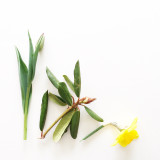 Tulip, rhododendron, and daffodil flowers on a white background.