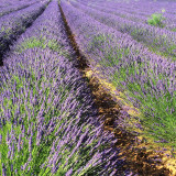 Purple lavender field