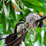 This is something beyond belief for me because it's a lucky shot for me - a mother Pied Fantail feeding an insect to her little ones. At first I didn't notice the insect but when I viewed it on my camera's monitor, I was surprised! Perfect timing!