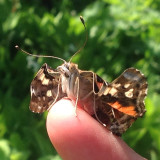 Unfolding Painted Lady Butterfly