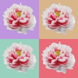 Peony in 4 colors background