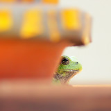 A tree frog named Steve.