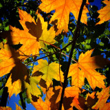Maple leaves changing colour in fall